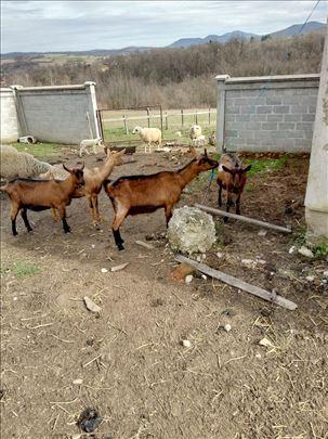 Braon koze