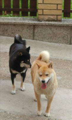 Šiba inu, štene