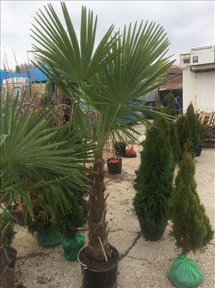 Lepezasta palma Trachycarpus fortunei