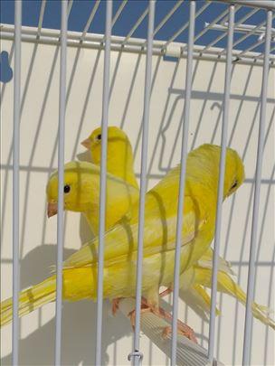 Mladi Lipohrom žuti kanarinci