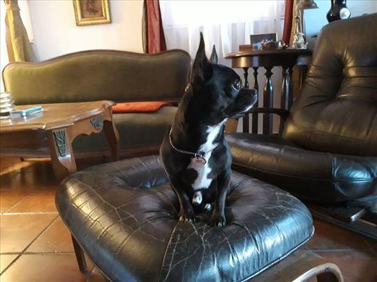 Čivava, odrastao pas,muzijak za parenje,rodovnik
