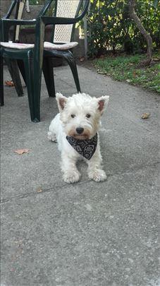 Zapadnoškotski beli terijer, odrastao pas