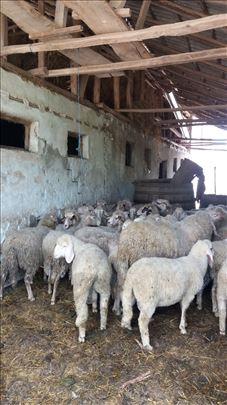 Na prodaju ovce celo stado sa jagnjadima