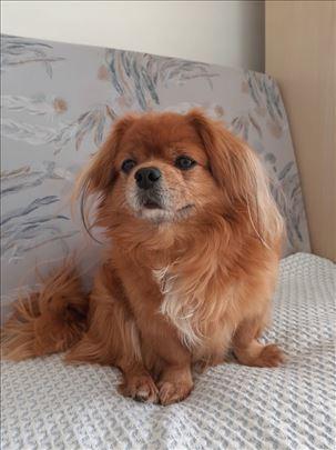 Tibetski španijel, odrastao pas