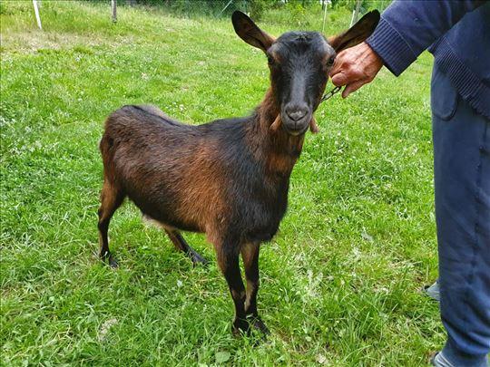 Prodajem kozu i jare u Barajevu