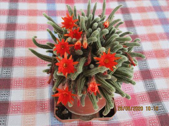 Kaktus sa cvetom