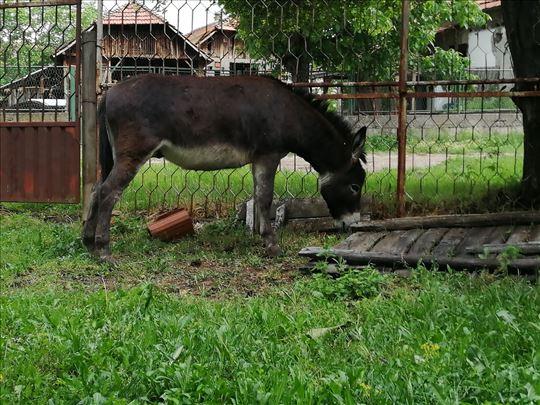Magarac i magarica