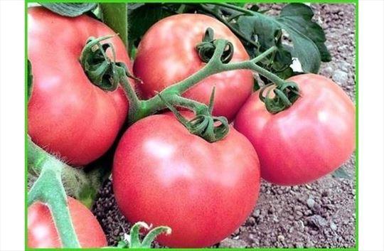 Prodajem paradajz pink