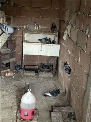 Poštari golubovi