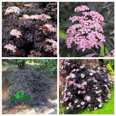 Crna ukrasna zova Sambacus nigra