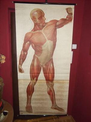 Mapa površnih mišića čoveka papir na platnu