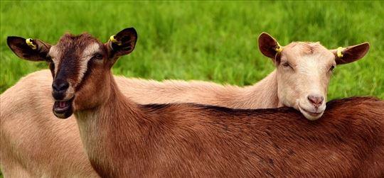 Alpske koze i jarići