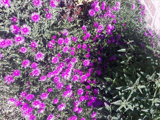 Ledeni cvet rozi