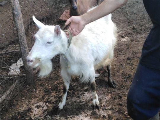 Prodajem kozu i jarca