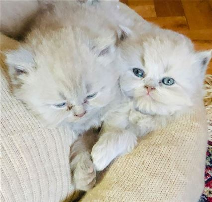 Britanske kratkodlake mačke - Lilac