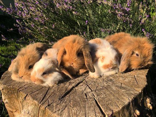 Patuljasti ovnoliki i lavlja glava kunici zecevi