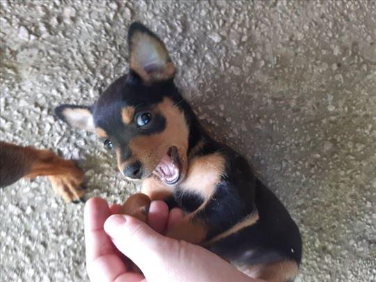 Patuljasti pinč, štene