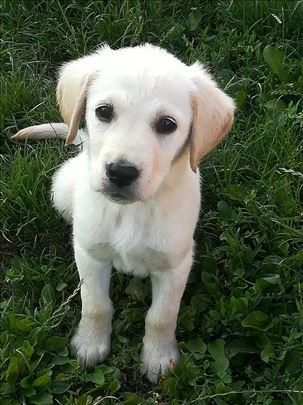 Labrador retriver, vrhunski štenci