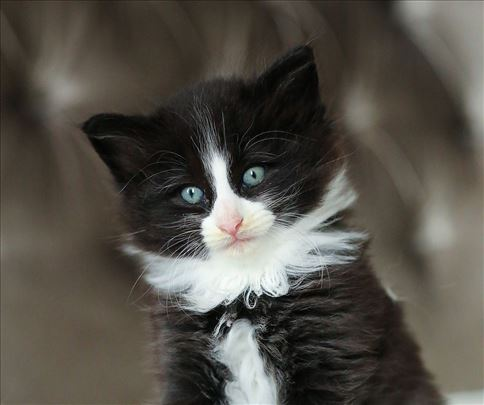 Norveška šumska, mlada mačka