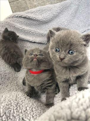 Ruska plava, mlada mačka
