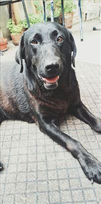Crna labradorka pronađena u Nišu