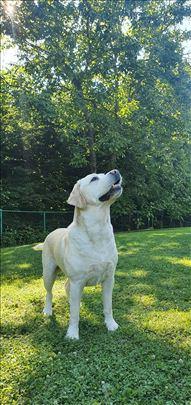 Labrador za parenje