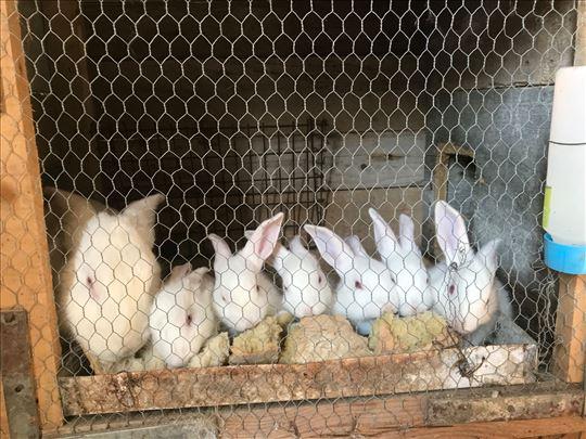 Na prodaju panon beli zečevi odličnog porekla