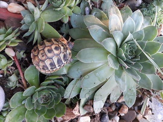 Prodajem šumsku kornjačicu mužijaka i ženku
