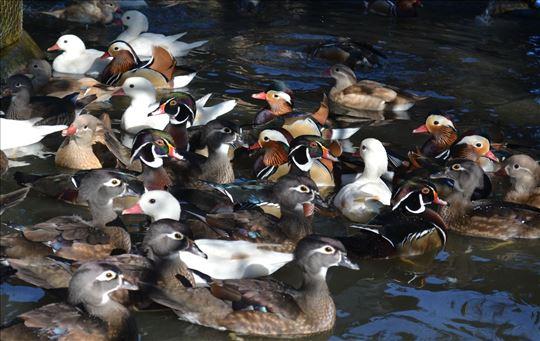 Ukrasne i egzotične patke