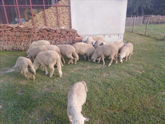 Umatičena sjenička jagnjad i ovce
