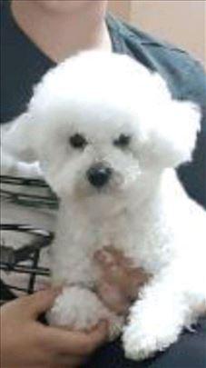 Bolonjski pas, mlad pas