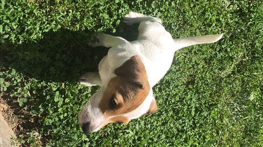 Džek Raselov terijer, mlad pas