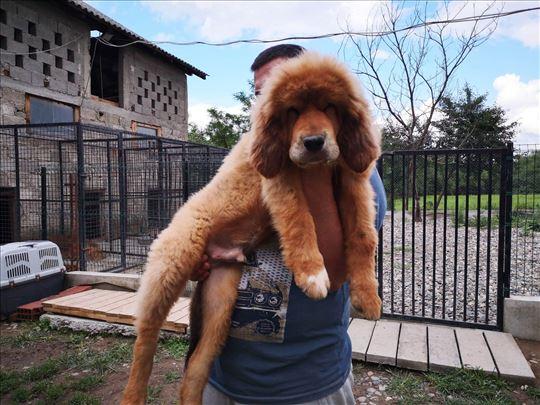 Tibetski mastif, štene