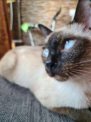 Sijamski mačor ( parenje )