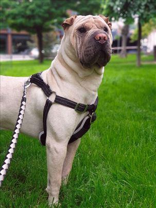 Šar-pej, odrastao pas