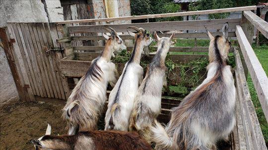 Povoljno mlade koze i jarići
