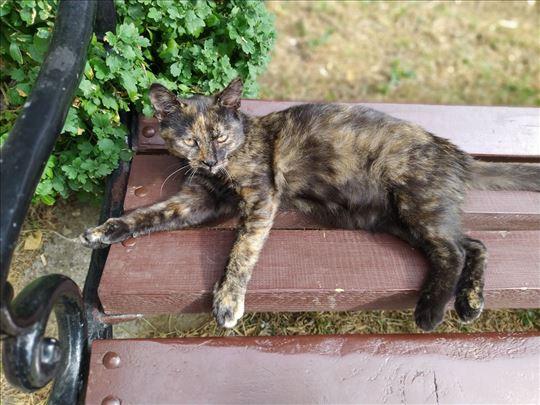 Maca kornajcevina