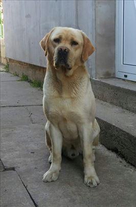 Labrador retriver-parenje