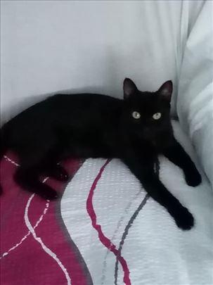 Poklanja se mlada,lepa sterilisana crna maca