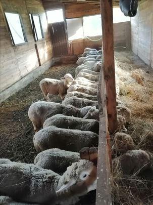 ovce umaticene il de frans