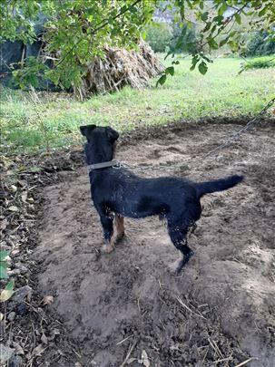 Nemački lovački terijer, mlad pas