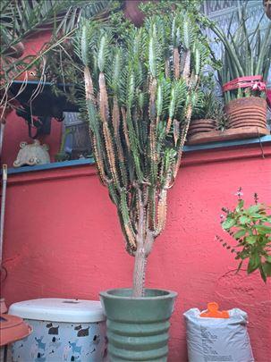 Afrički mlečni kaktus