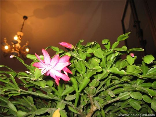 Bozicnjak , bozicni kaktus  (epiphyllum truncatum)