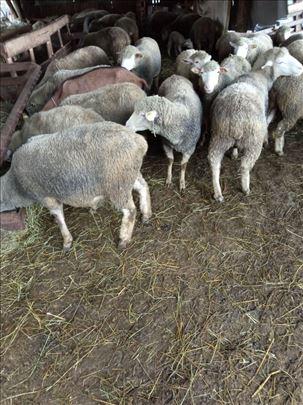 Jagnjici i siljege Il De Frans