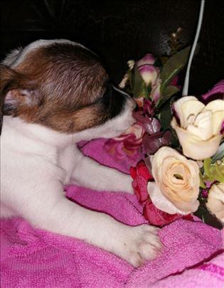Džek Raselov terijer, štene na prodaju