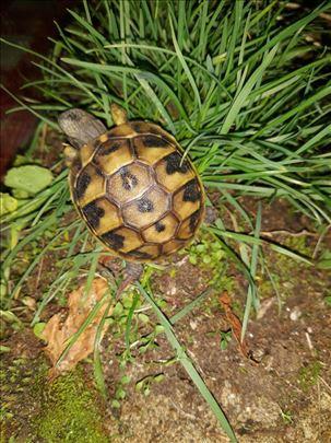 Prodajem par kopnenih kornjača iz pet shopa