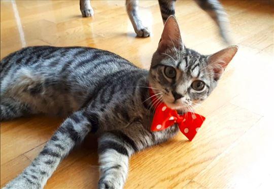 Mala tigrica Lina mačkica od 4 meseca traži dom