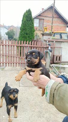 Nemački lovački terijer, štene