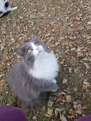 Poklanja se predivna mlada sivo bela persijska mac