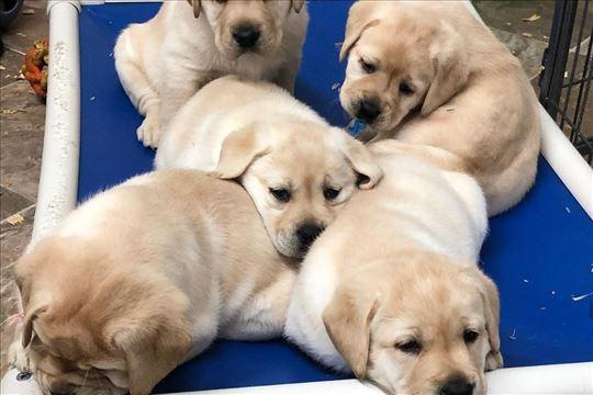 Labrador retriver najlepše bebe